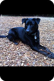 Labrador Retriever Mix Dog for Sale in Allentown, Alabama - MayBelle