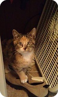 Calico Kitten for Sale in Cleveland, Ohio - Angel