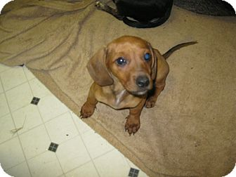 Dachshund Mix Puppy for Sale in Pelham, New York - Opal