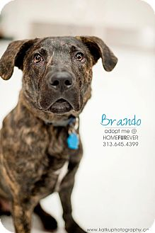 Retriever (Unknown Type)/American Pit Bull Terrier Mix Dog for adption in Detroit, Michigan - Brando- Foster me?