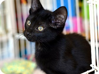 Bombay Kitten for Sale in Brooklyn, New York - Zuzia