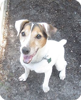 Parson Russell Terrier Mix Dog for adption in Forked River, New Jersey - Kat