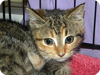 Domestic Shorthair Kitten for Sale in Stafford, Virginia - DeeDee
