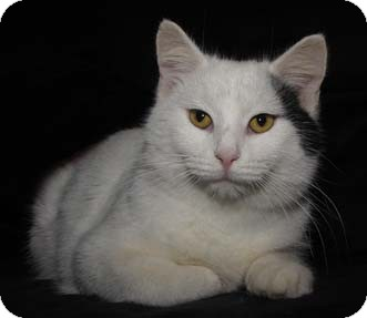 Turkish Van Cat for Sale in Merrifield, Virginia - Pennywise
