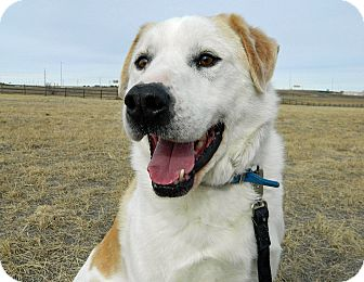 Great Pyrenees/Labrador Retriever Mix Dog for Sale in Cheyenne, Wyoming - Snoopy