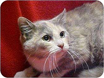 Domestic Mediumhair Kitten for adoption in Long Island, New York - Chelsea