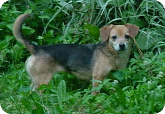 Beagle Mix Dog for adption in Brookville, Indiana - Annie
