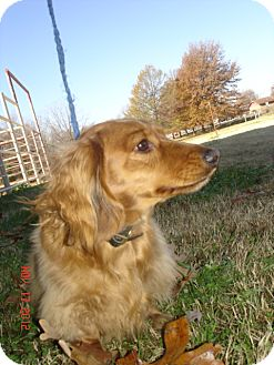 Dachshund Dog for Sale in Stilwell, Oklahoma - Rufus