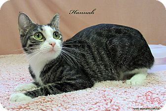 Domestic Shorthair Cat for adoption in St Louis, Missouri - Hannah