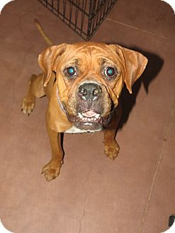 Boxer Dog for Sale in Scottsdale, Arizona - Patsy