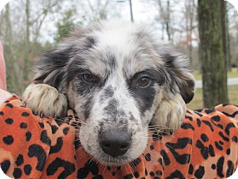 Australian Shepherd Mix Puppy for Sale in Spring Valley, New York - Kylie