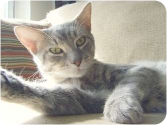 Domestic Shorthair Cat for adoption in Oakville, Ontario - Garth