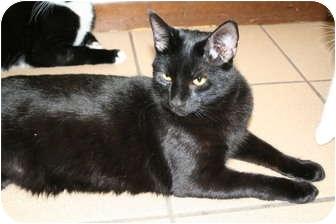 Domestic Shorthair Cat for Sale in Naples, Florida - Piccolo