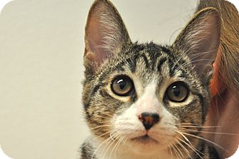 Domestic Shorthair Kitten for Sale in Foothill Ranch, California - Crystal