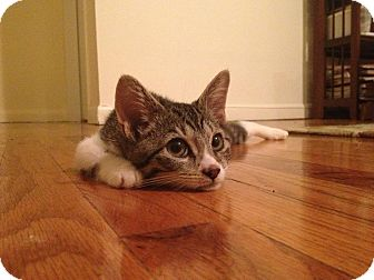 Domestic Shorthair Kitten for Sale in New York, New York - Lil Betty