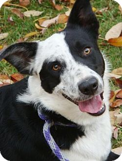 Border Collie Mix Dog for Sale in Red Bluff, California - Kidd