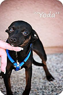Chihuahua Puppy for adption in San Diego, California - Yoda