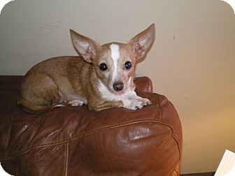 Chihuahua Mix Dog for Sale in Apex, North Carolina - Pearl