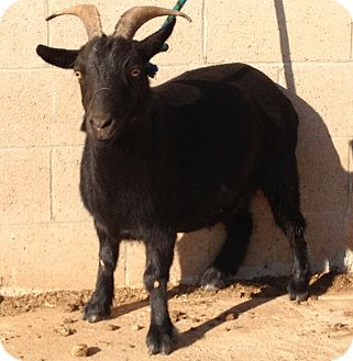 Goat for Sale in Bangor, California - Nygina