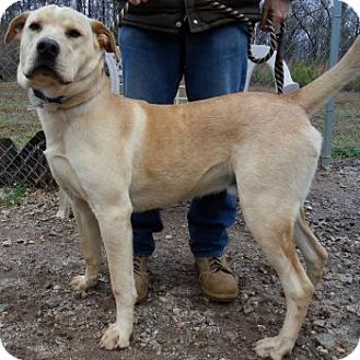 Great Pyrenees/Labrador Retriever Mix Dog for Sale in Athens, Georgia - Dude
