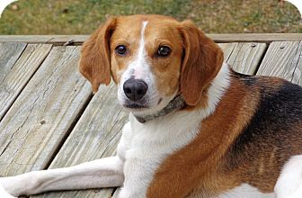 Foxhound/Beagle Mix Dog for Sale in Bedford, Virginia - Bella