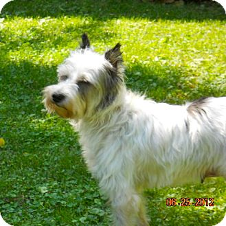 Schnauzer (Standard) Mix Dog for Sale in North Benton, Ohio - Minnie