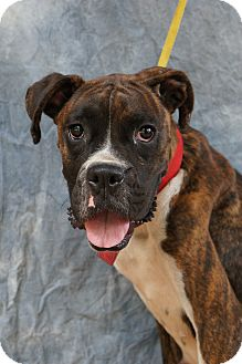 Boxer Mix Dog for Sale in Anywhere, Connecticut - Stella