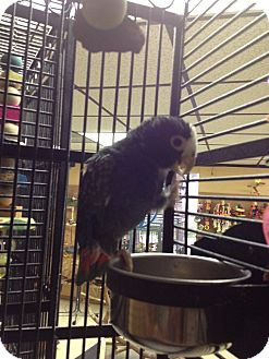 Pionus for adoption in Punta Gorda, Florida - Mr P