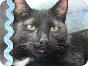 Domestic Mediumhair Kitten for adoption in Brea, California - Pepper