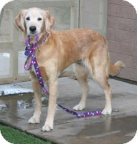 Golden Retriever Mix Dog for Sale in Scottsdale, Arizona - Princess