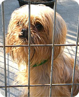 Yorkie, Yorkshire Terrier Mix Dog for Sale in Anywhere, Connecticut - Yvette
