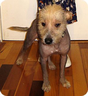 Chinese Crested Dog for Sale in Pulaski, Tennessee -