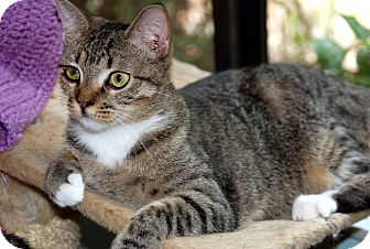 Domestic Shorthair Cat for adoption in Elfers, Florida - Gladys