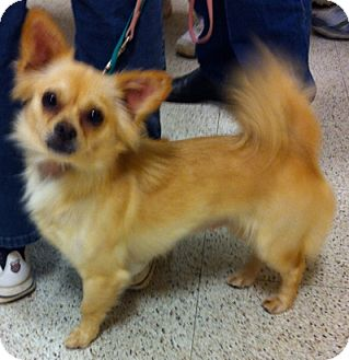 Chihuahua Mix Dog for Sale in Loudonville, New York - Grace