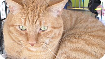 Domestic Shorthair Cat for adoption in temecula, California - Jax