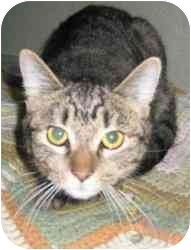 Domestic Shorthair Cat for adoption in Strathmore, Alberta - Maddie