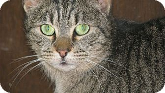 Domestic Shorthair Cat for adoption in South Chesterfield, Virginia - Crazy