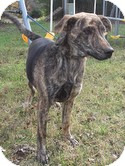 Plott Hound Dog for Sale in Spring Valley, New York - Apollo (Urgent) $200 adopt.fee