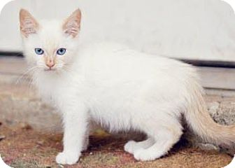 Siamese Kitten for Sale in San Antonio, Texas - Mr. Jingles