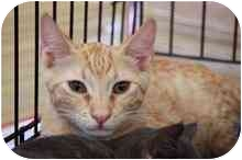Domestic Shorthair Cat for adoption in La Canada Flintridge, California - Charlie