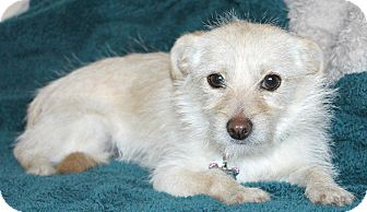 Terrier (Unknown Type, Small)/Norfolk Terrier Mix Dog for Sale in Temecula, California - Emmy-lu