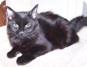 Domestic Mediumhair Cat for Sale in Colorado Springs, Colorado - K-Hart7-Della