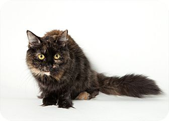 Domestic Mediumhair Cat for Sale in Rockaway, New Jersey - Sophie