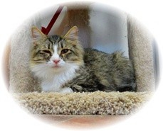 Domestic Mediumhair Kitten for Sale in Shelton, Washington - Jayne