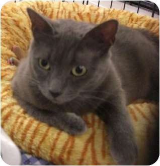 Russian Blue Cat for adoption in Petersburg, Virginia - Annalise