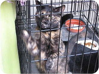 Domestic Shorthair Cat for adoption in Perkins, Oklahoma - PEPPI