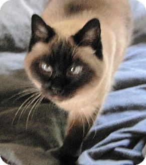 Siamese Cat for adoption in Richmond, California - Chloe