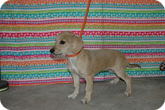 Dachshund/Terrier (Unknown Type, Small) Mix Puppy for Sale in san antonio, Texas - Lady