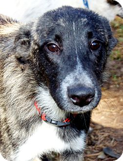Blue Heeler Mix Dog for adption in Houston, Texas - Sparky