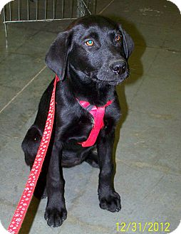 Labrador Retriever Mix Puppy for Sale in Sussex, New Jersey - Jackie